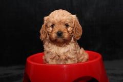 De zitting van het Cavoodlepuppy in een rode kom Stock Foto's