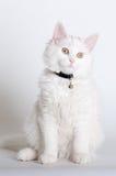 De zitting van het katje op witte achtergrond Stock Afbeeldingen