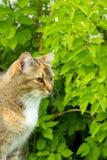 de zitting van het katten Europese ras Stock Afbeelding