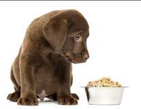 De zitting van het labradorpuppy met zijn volledige hondkom Stock Afbeeldingen