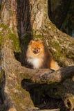 De zitting van het Pomeranianpuppy in een boom Royalty-vrije Stock Fotografie