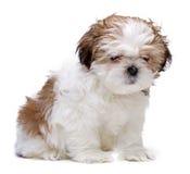 De zitting van het puppy Royalty-vrije Stock Afbeeldingen