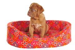 De Zitting van het puppy in zijn Wieg Stock Afbeeldingen