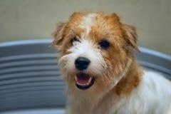 De zitting van hondjack russell terrier in blauw hondbed stock foto