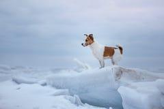 De zitting van hondjack russell terrier op het ijs stock foto's
