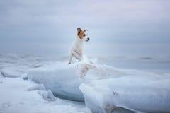 De zitting van hondjack russell terrier op het ijs royalty-vrije stock foto's