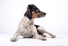 De zitting van de hondkruidenier en zijdelings het kijken royalty-vrije stock fotografie