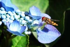 De zitting van Hoverfly op hydrangea hortensia stock afbeeldingen