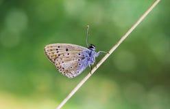 De zitting van de kopervlinder op een droge stam op een groene vage achtergrond Op een zonnige de zomerdag Macro fotografie Vlind stock afbeelding