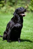 De zitting van Labrador op weide Royalty-vrije Stock Fotografie