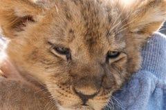 De zitting van de leeuwwelp en omhoog het handtastelijk worden, sluiten omhoog Royalty-vrije Stock Afbeeldingen