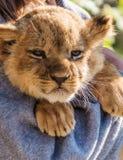 De zitting van de leeuwwelp en omhoog het handtastelijk worden, sluiten omhoog Stock Foto