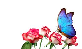 De zitting van de Morphovlinder op roze geïsoleerd op wit roze rozen en heldere blauwe vlinder dichte omhooggaand Decor voor groe royalty-vrije stock afbeeldingen