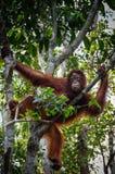 De zitting van orang-oetanutan op een boom in Borneo Indonesië Stock Fotografie
