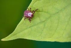 De zitting van de parasietmijt op een groen blad Gevaar van tikbeet stock fotografie