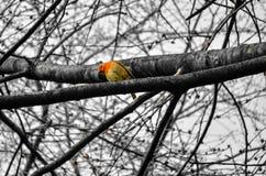 De zitting van Robin op boomtakken stock afbeelding
