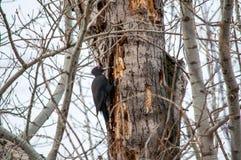 De zitting van de specht op de boom stock foto