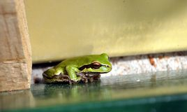 De zitting van Treefrog op een metaaltribune Stock Fotografie