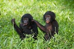 De zitting van twee babybonobo op het gras Democratische Republiek de Kongo Het Nationale Park van Lola Ya BONOBO Royalty-vrije Stock Afbeeldingen
