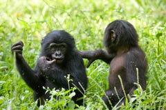 De zitting van twee babybonobo op het gras Democratische Republiek de Kongo Het Nationale Park van Lola Ya BONOBO Stock Afbeelding
