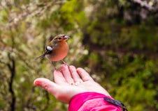 De zitting van de de Vinkvogel van madera op een hand, het eiland van Madera, Portugal royalty-vrije stock foto's