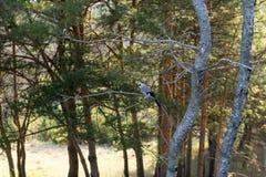 De zitting van de Vlaamse gaaivogel op een boomtak stock fotografie
