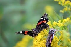 De zitting van de vlinderadmiraal op gele bloemen stock afbeeldingen
