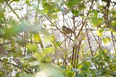 De zitting van de vogelmus op tak stock fotografie