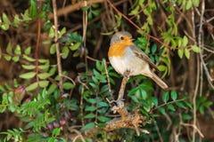 De zitting van vogelrobin op een tak royalty-vrije stock foto