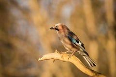 De zitting van de vogelvlaamse gaai op een tak royalty-vrije stock foto's