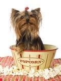 De zitting van Yorkie in popcornkom Stock Foto