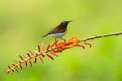 De zitting van de zonvogel op bloemtak stock afbeelding
