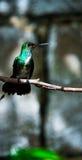 De zoemende vogel Stock Afbeeldingen