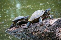 De zoet waterschildpadden beklimmen en bevinden zich op het hout voor het zonnebaden Stock Foto