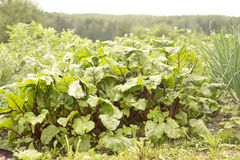 De zoete biet doorbladert (mangelwortel) Royalty-vrije Stock Foto