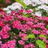 De zoete bloemen van William Stock Afbeelding