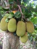 De zoete boom van het hefboomfruit van sri lankan natuurlijke foto's Royalty-vrije Stock Foto's