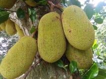 De zoete boom van het hefboomfruit van sri lankan natuurlijke foto's Stock Foto's