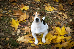 De zoete hond zit in de bladeren en kijkt in uw ogen Royalty-vrije Stock Foto