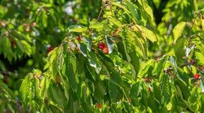 De zoete kers rijpt op een groene boom in de zomer Vruchten op de tak van zoete kers in de tuin Aard vage achtergrond stock afbeeldingen
