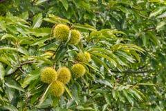 De zoete luifel van de kastanjeboom met bladeren en rijpe kastanjes Royalty-vrije Stock Afbeeldingen