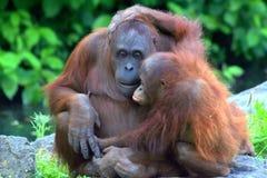 De Zoete Omhelzing van de Orangoetan van Mum en van de Baby Stock Fotografie