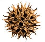 De zoete Peulen van het Zaad van de Gom stock foto's