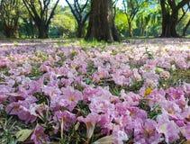 De zoete roze bloesem van de Trompetboom Stock Foto