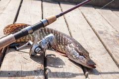 De zoetwater Noordelijke snoekenvissen kennen als Esox Lucius en hengel met spoel liggend op uitstekende houten achtergrond Visse stock afbeelding