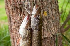 De zoetwater Noordelijke snoekenvissen kennen als Esox Lucius op vissenlangsligger en vistuigen Visserijconcept, goede grote vang royalty-vrije stock afbeeldingen