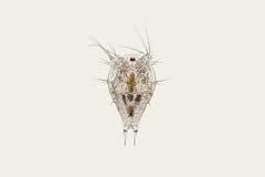 De zoetwaterlarve van dierlijk plankton copepod Nauplius Microscopische schaaldier stock foto