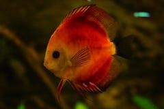 De zoetwatervissen van de aquariumdiscus stock afbeeldingen