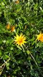 De zomer bloeit geel Stock Afbeeldingen