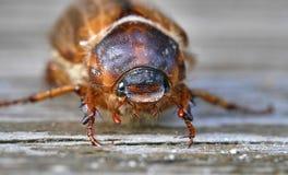 De zomer chaver (juni-insect) Stock Afbeeldingen